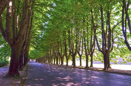 Beautiful tree-lined road in Lucca